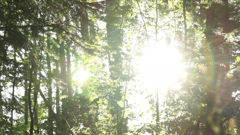 Sunny forest Footage