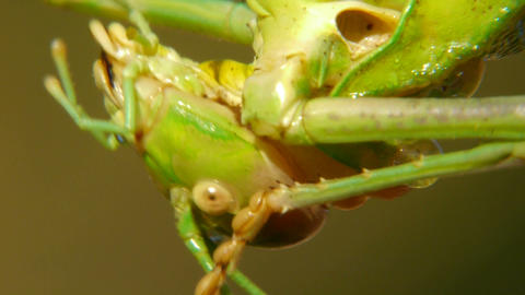closeup of grasshopper Footage