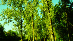 Grove,woods forest, trees background, green nature landscape,august, pan Footage
