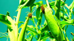 Two cobs on stalk.Corn field in august, tilt Footage