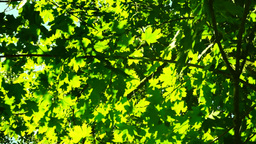 Oak leaves moved by the wind.Sun breaking through leaves Footage
