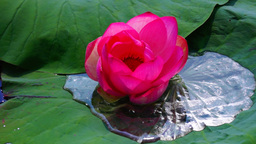 Lotus flower (Nelumbo nucifera) moving by waves Footage