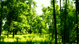 Woods forest, trees background, green nature landscape, wilderness, august, pan Footage