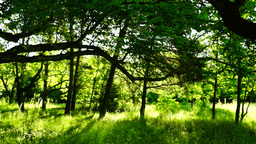 Woods forest, trees background, green nature landscape, sound,august, pan Footage