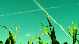 Corn Field, Wind,sunny Day, Plane Traces, Low Angle Shot stock footage