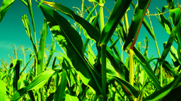 Hued corn field, wind, sunny day, tilt Footage