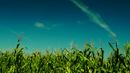 Hued Corn Field, August Sun,wind,plane Traces, White Butterfly stock footage