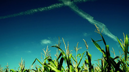 Corn in the rays of august sun , x plane traces, vivid sky Footage