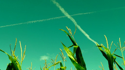 Hued corn field with slant of wind on a sunny day,plane traces, surreal sky Footage