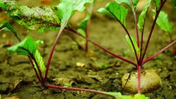 Beetroot (Beta vulgaris) leaves moving by wind Footage