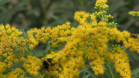 Insects collects nectar Footage