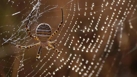spider argiope Footage