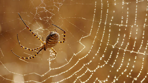 argiope spider waiting for its prey Footage