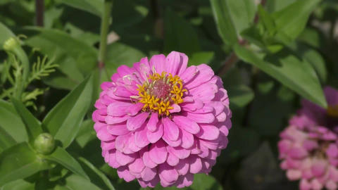Zinnia flower sways in the wind Footage