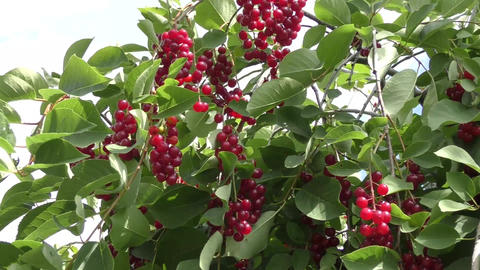 Bird cherry Red sways in the wind Footage