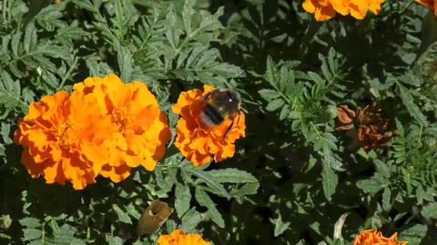 Bumblebee on flower Footage