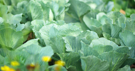 Ripe Cabbage In The Garden, Vertical Panorama stock footage