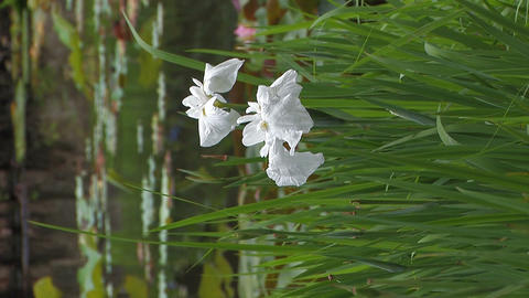 White Flowers of Japanease Iris,Vertically Oriented Video,in Showa Kinen Park Footage