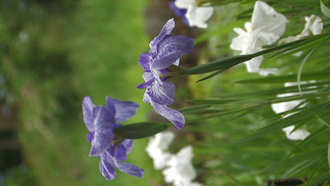 Flowers of Japanease Iris,Vertically Oriented Video,in Showa Kinen Park Footage