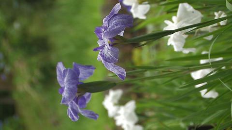 Flowers of Japanease Iris,Vertically Oriented Video,in... Stock Video Footage