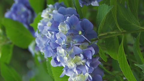 Flowers of Hydrangea,Vertically Oriented Video,in Showa... Stock Video Footage