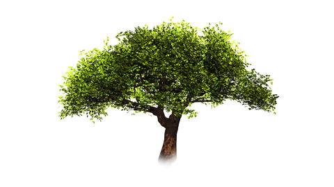 Growing tree on white with alpha matte Stock Video Footage