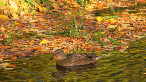 The autumn foliage drifted ashore a pond Stock Video Footage