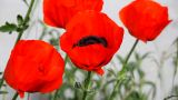 Red Poppy stock footage