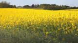 Rape Field stock footage