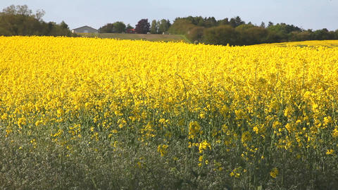 Rape field Stock Video Footage