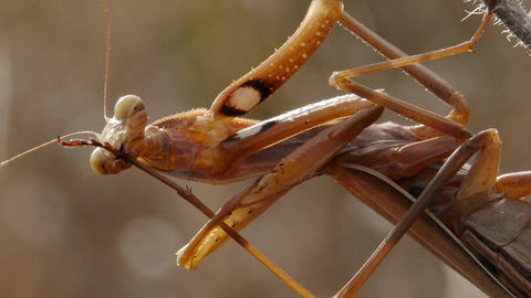 closeup of praying mantis Footage