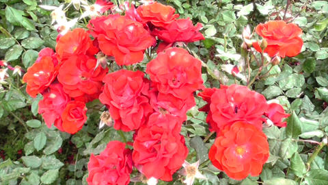 Red Wild Roses Footage