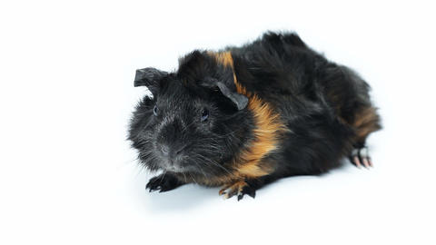 Guinea Pig stock footage