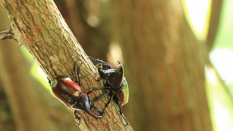 Fighting beetle Footage