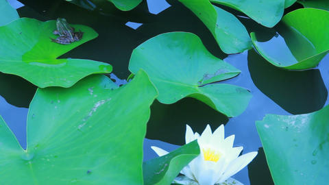 Water Lily Flowers And Leaves On Pond Footage