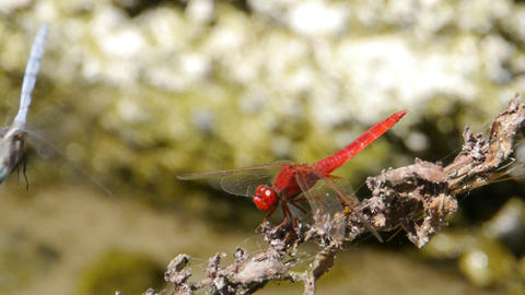 Red And Blue Dragonflies On Branch stock footage