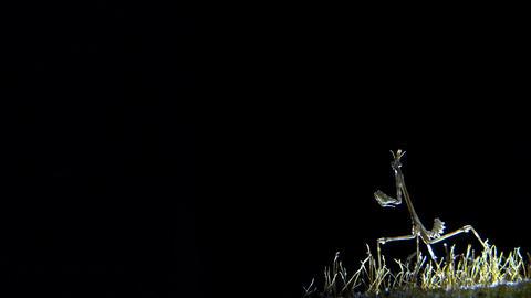 Empussa Pennata at night Footage