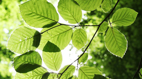 Green leaves in the sun Footage