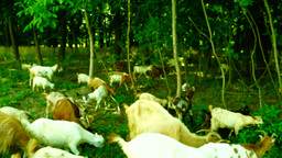 Goats grazing at the edge of the forest Footage