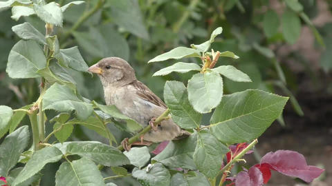 Little sparrow Footage