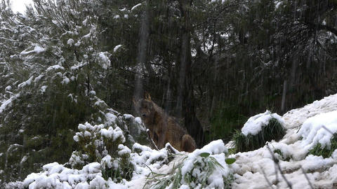 Iberian wolf under the big snow Footage