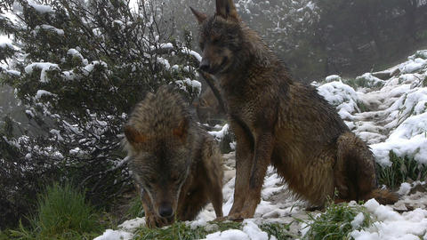 couple Iberian wolves in the snowy mountains Footage
