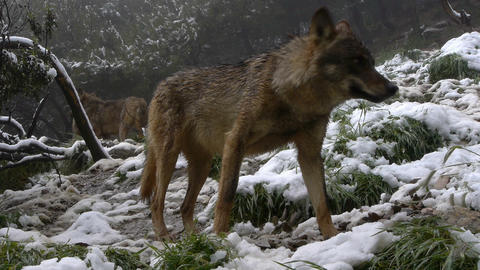 Iberian wolf sniffing the air Footage