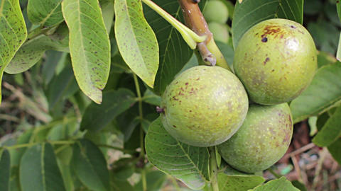 Walnut ripe nuts Footage