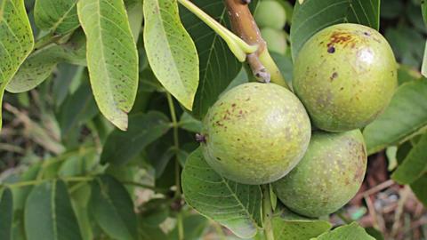 Walnut Ripe Nuts stock footage