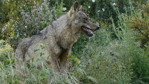 Iberian Wolf In The Grass stock footage