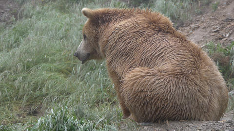 sitting brown bear Footage