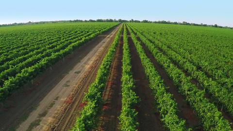 Drone Take Off over a Vineyard. Aerial Video Footage