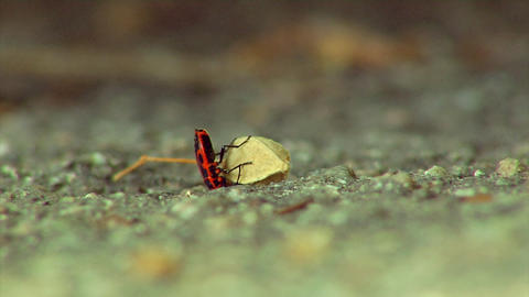 firebugs larva Footage