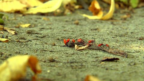 firebugs larvas Footage